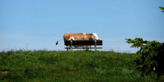Kuh auf der Kampenwand-Bank
